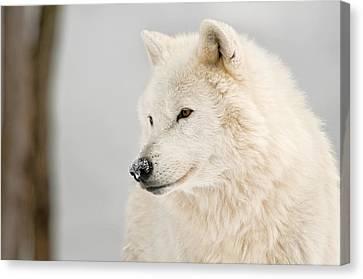 Wolf Pics Canvas Print - Arctic Wolf Portrait by Michael Cummings
