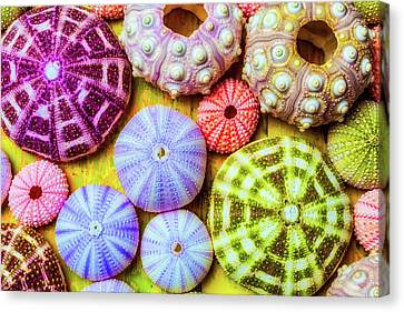 Seashell Fine Art Canvas Print - Assorted Sea Urchins by Garry Gay
