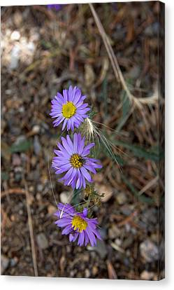 Canvas Print featuring the photograph 3 Asters 5943 by Peter Skiba