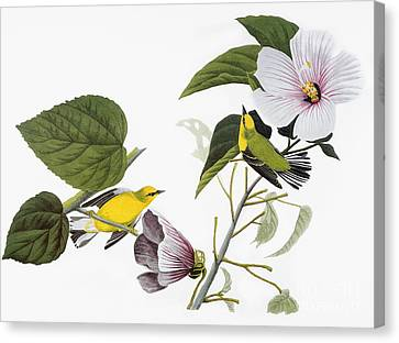Audubon: Warbler, (1827-38) Canvas Print by Granger