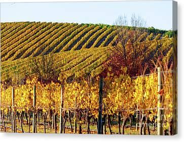 Autumn Vines Canvas Print by Bill Robinson