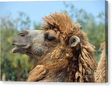Camel Canvas Print - Bactrian Camel by George Atsametakis