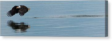 Bald Eagle Flying Canvas Print by Ed Book
