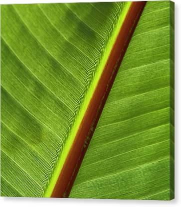 Banana Leaf Canvas Print by Heiko Koehrer-Wagner