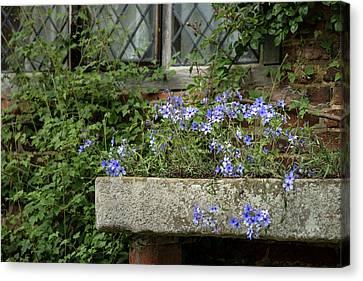 Beautiful Image Of Wild Blue Phlox Flower In Spring Overflowing  Canvas Print