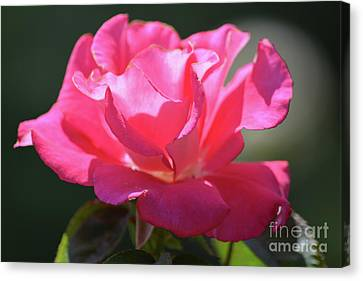 Beautiful Pink Rose  Canvas Print by Ruth Housley