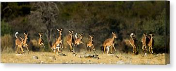 Black-faced Impala Aepyceros Melampus Canvas Print by Panoramic Images