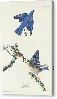 Blue-bird Canvas Print by Rob Dreyer