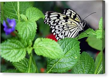 Paper Kite Butterfly No. 3 Canvas Print by Sandy Taylor