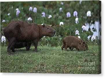 Capybara Hydrochoerus Hydrochaeris Canvas Print