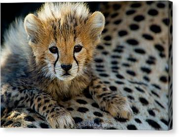 Close-up Of Cheetah Acinonyx Jubatus Canvas Print by Panoramic Images