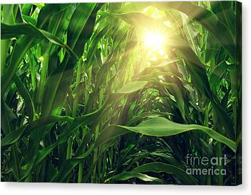 Cornfield Canvas Print - Corn Field by Carlos Caetano
