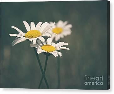 3 Daisies Canvas Print by Cheryl Baxter