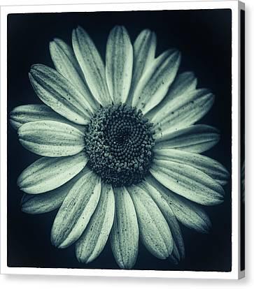 Daisy Canvas Print by Martin Newman