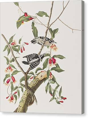 Downy Woodpecker Canvas Print by John James Audubon