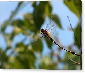 Dragonfly Canvas Print by Belinda Cox
