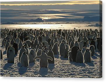 Emperor Penguin Aptenodytes Forsteri Canvas Print by Pete Oxford