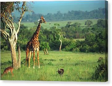 Giraffe Canvas Print - Giraffe by Sebastian Musial