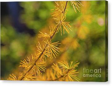Pine Needles Canvas Print - Golden Autumn by Veikko Suikkanen