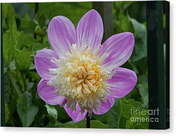Golden Gate Park Dahlia Canvas Print