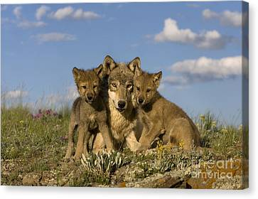 Gray Wolf And Cubs Canvas Print by Jean-Louis Klein & Marie-Luce Hubert