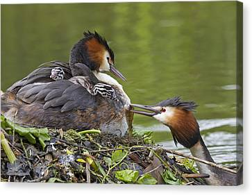 Great Crested Grebes Feeding Chick Canvas Print by Dickie Duckett