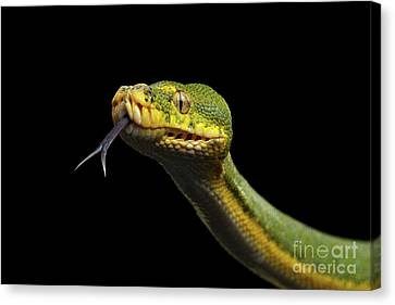 Green Tree Python. Morelia Viridis. Isolated Black Background Canvas Print