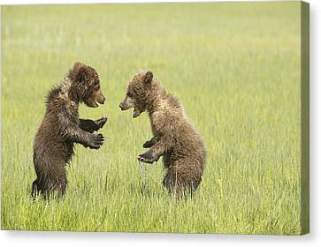 Grizzly Bear  Ursus Arctos Horribilis Canvas Print by Daisy Gilardini