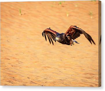 Canvas Print featuring the photograph Harris Hawk by Alexey Stiop