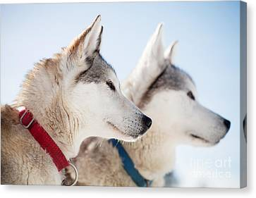Huskies Canvas Print by Kati Molin