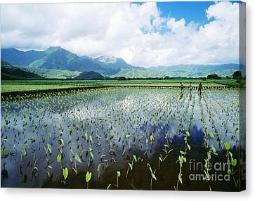 Kauai, Wet Taro Farm Canvas Print by Bob Abraham - Printscapes