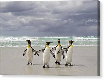 King Penguin Aptenodytes Patagonicus Canvas Print by Ingo Arndt