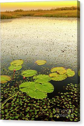Lily Pads Canvas Print by Tim Hester