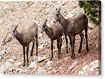 Bighorn Canyon National Recreation Area Canvas Print - 3 Little Lambs by Larry Ricker