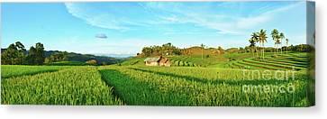 Paddy Rice Panorama Canvas Print by MotHaiBaPhoto Prints
