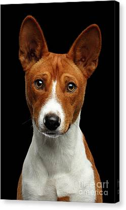 Pedigree White With Red Basenji Dog On Isolated Black Background Canvas Print