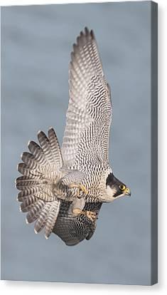 Peregrine Falcon Canvas Print by Ian Hufton