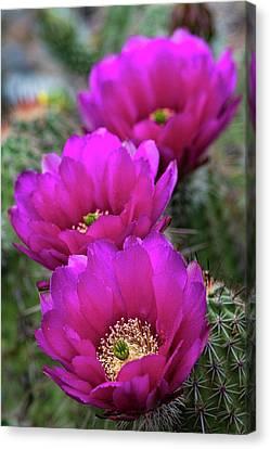 Canvas Print featuring the photograph Pink Hedgehog Cactus  by Saija Lehtonen