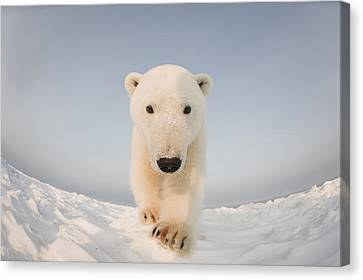 Polar Bear  Ursus Maritimus , Curious Canvas Print by Steven Kazlowski