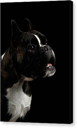 Purebred Boxer Dog Isolated On Black Background Canvas Print by Sergey Taran