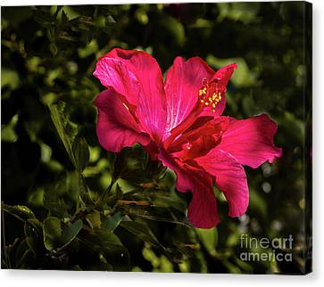 Canvas Print featuring the photograph Red Hibiscus by Robert Bales