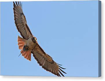 Red-tailed Hawk  Canvas Print by Carl Jackson