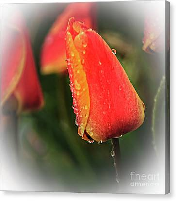 Canvas Print featuring the photograph Red Tulip  by Robert Bales