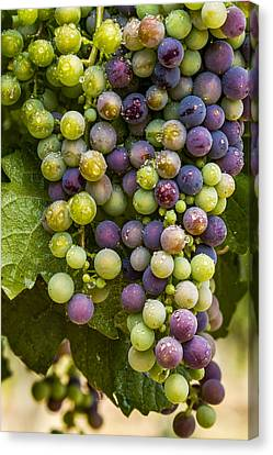 Red Wine Grapes Hanging On The Vine Canvas Print by Teri Virbickis