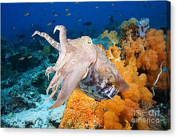 Jet-propelled Canvas Print - Reef Squid by Dave Fleetham - Printscapes