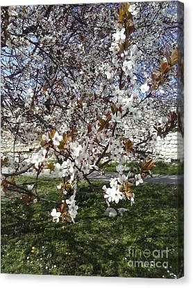 Spring Edition Flowering Tree Canvas Print by Aleksandra Pomorisac