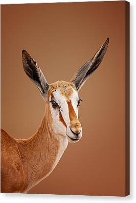 Springbok Portrait Canvas Print