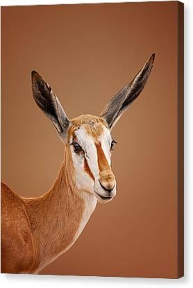 Springbok Portrait Canvas Print by Johan Swanepoel