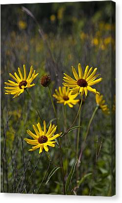Canvas Print featuring the photograph 3 Sunflowers 8152 by Peter Skiba
