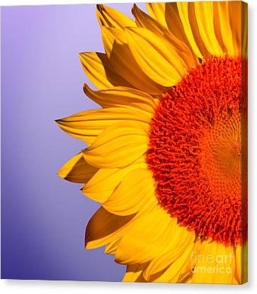 Sunflowers Canvas Print - Sunflowers by Mark Ashkenazi